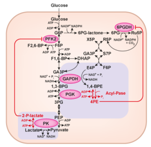 glycolysis_side_product_accumulation